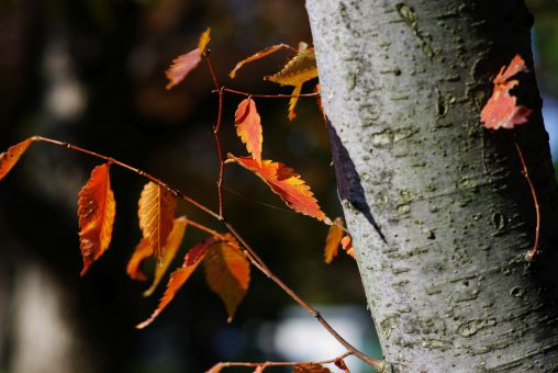 桜紅葉 – Autumn Sakura leaves