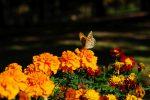 マリーゴールドにツマグロヒョウモン – Indian Fritillary on Marigold flower