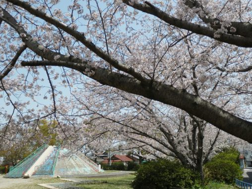 松下公園のサクラ – Sakura at Matsushita park