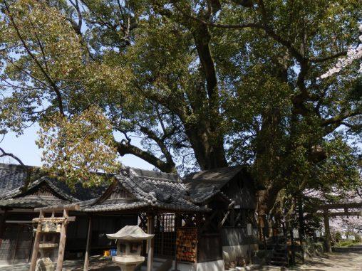 藤白神社の大楠 – Camphor tree of Fujishiro shrine