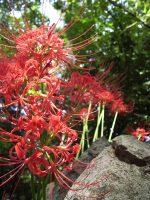 石垣に咲く彼岸花 – Lycoris on Stonewall