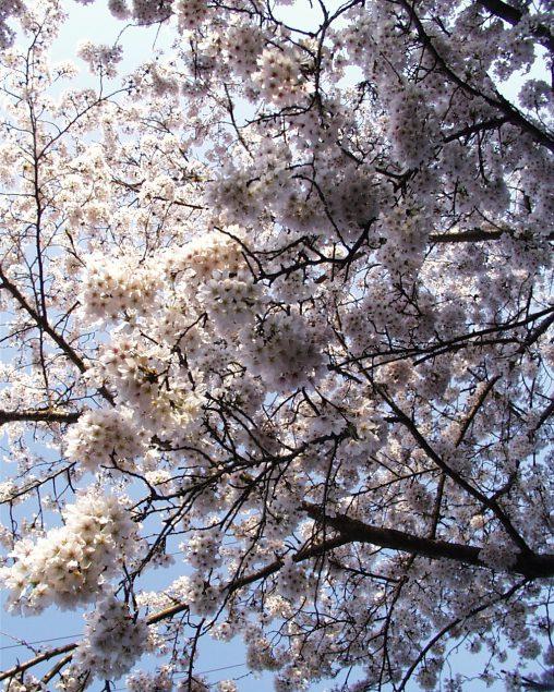 ソメイヨシノ – Sakura