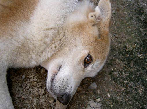 愛犬 – Pet dog