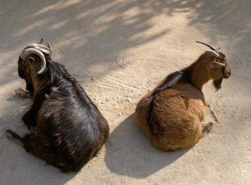 鏡合わせのヤギ – Goats