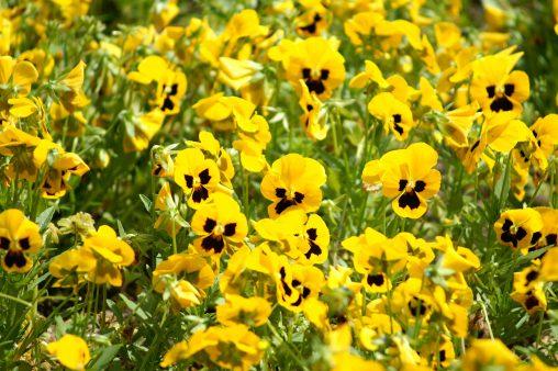 パンジー満開 – Full blooming pansies