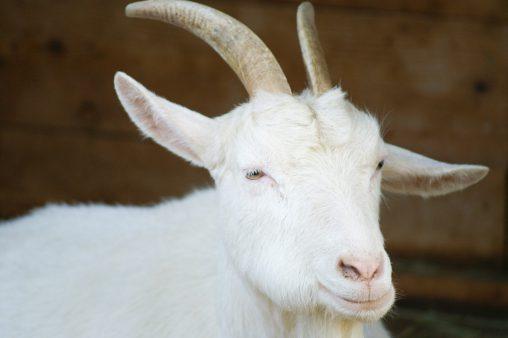 白ヤギ – White goat