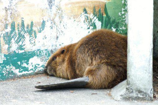 アメリカビーバー – Beaver