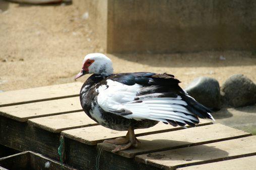 バリケン – Muscovy Duck