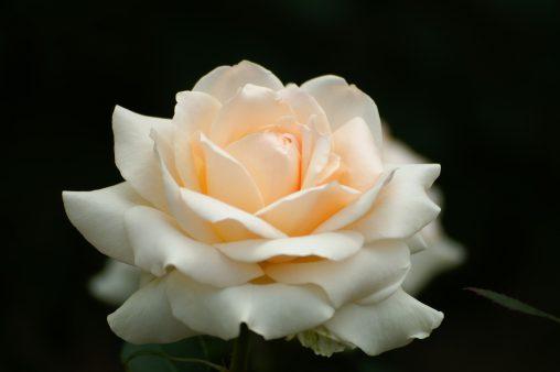 バラ「プリンセス・マサコ」 – Rose 'Princess Masako'