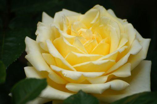バラ「そどおり姫」 – Rose 'Sodori hime'