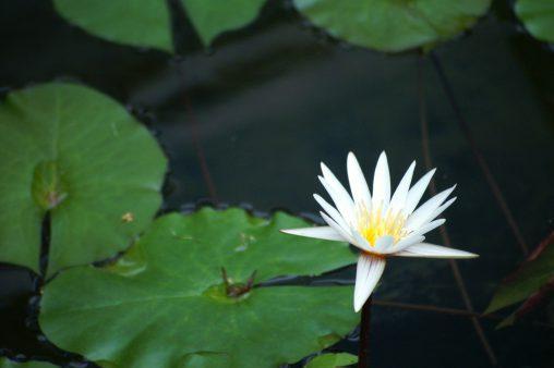 ヒツジグサ – Water lily