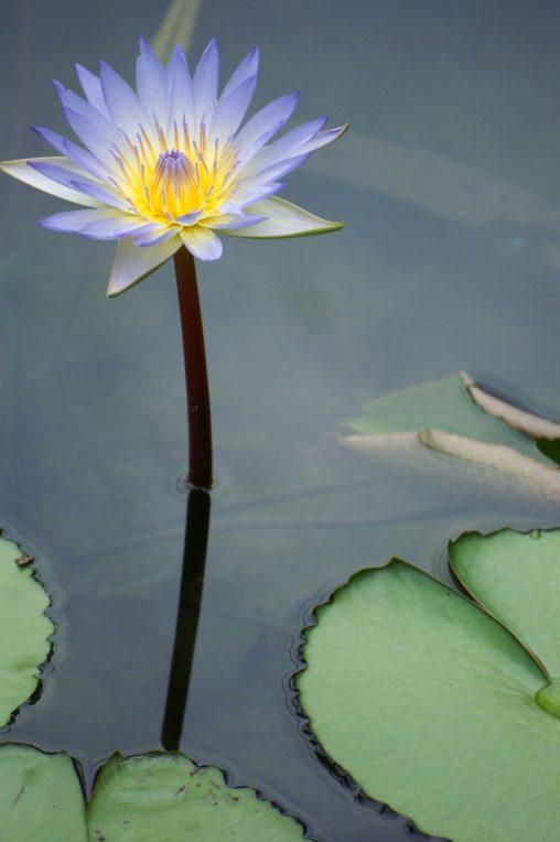 熱帯スイレン – Tropical Waterlily