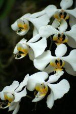 胡蝶蘭 – Moon Orchid