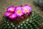 サボテンの花 – Cactus flower