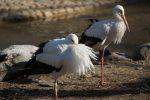 シュバシコウ – White Storks