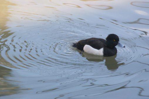 キンクロハジロ – Tufted duck