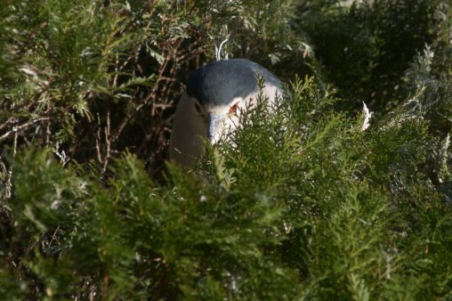 のぞくゴイサギ – Night Heron