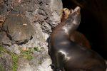 叫ぶ – California sea lion