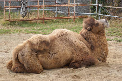フタコブラクダ – Bactrian camel