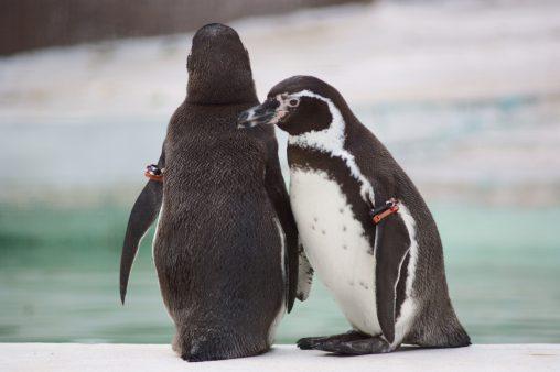 フンボルトペンギン – Humboldt Penguins