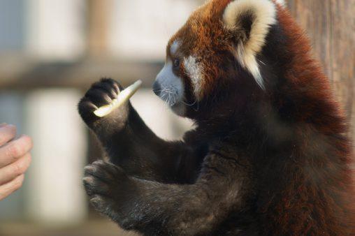 レッサーパンダ(食事タイム) – Lesser panda