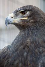 イケメンソウゲンワシ – Steppe Eagle