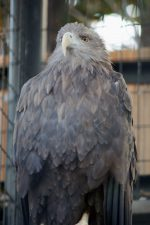 オジロワシ – White-tailed Eagle