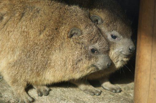 身を寄せ合う – Cape Hyrax