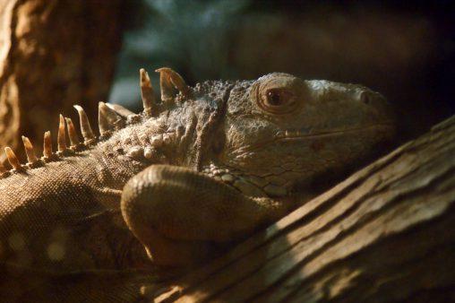 グリーンイグアナ – Green Iguana