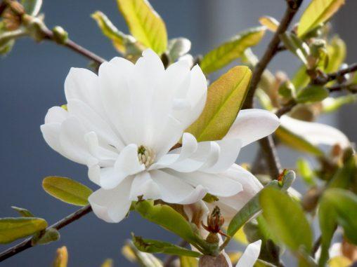 シデコブシ – Star Magnolia