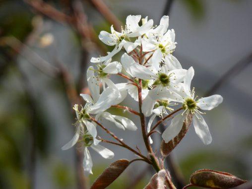 ジューンベリー – Juneberry