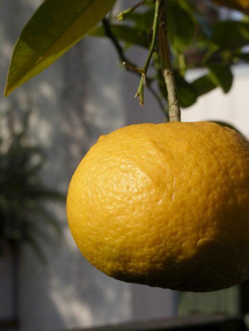 甘夏 – Citrus natsudaidai Hayata