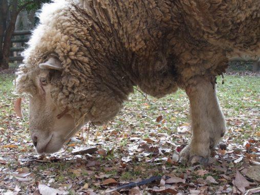 ヒツジ – Sheep