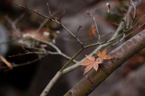 冬のもみじ – Winter leaves