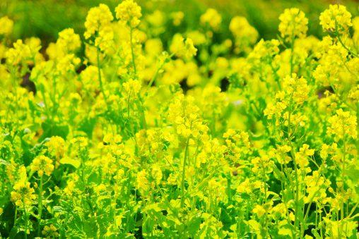菜の花 – Canola flower field