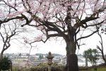 水月寺の江戸彼岸 – Edo-higan Sakura in Suigetsuji Temple