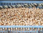 銀杏の種 – Nuts of Ginkgo