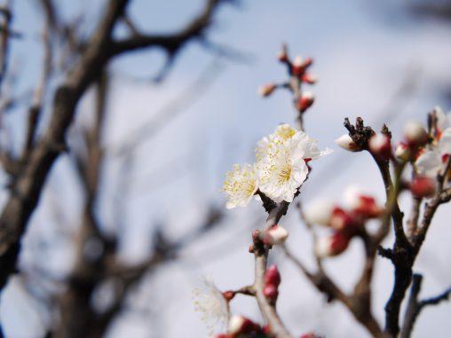 空と梅 – Plum flower