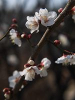 もうすぐ盛り – Plum flowers