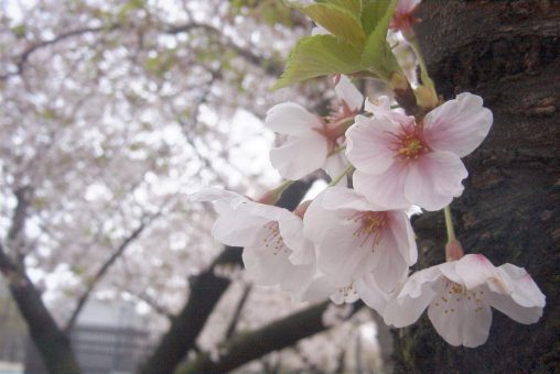 サクラ – Sakura