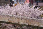 目の前で観よう – Sakura with pedestrian bridge