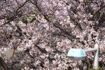 街灯沿い – Streetlight with Sakura