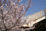桜を上る – Sakura with Stairway