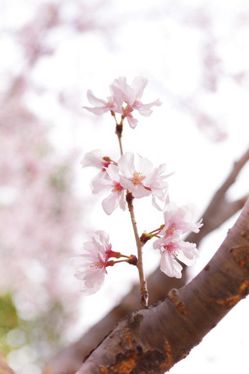 小枝いっぱい – Higan Sakura