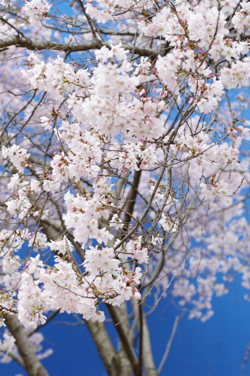 一足先の満開 – Higan Sakura