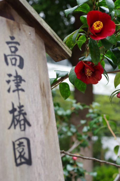 高津神社 椿園 – Camellia garden of Kozu Shrine