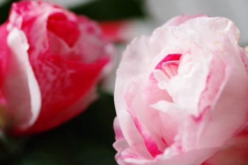 岩根絞 – Camellia 'Iwane Shibori'