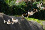 桜一枝 – A Sakura Branch