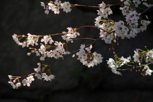 陰日向 – Sakura