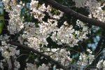 緑を背に – Sakura